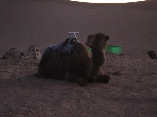 Dromedário: meio de transporte no deserto.